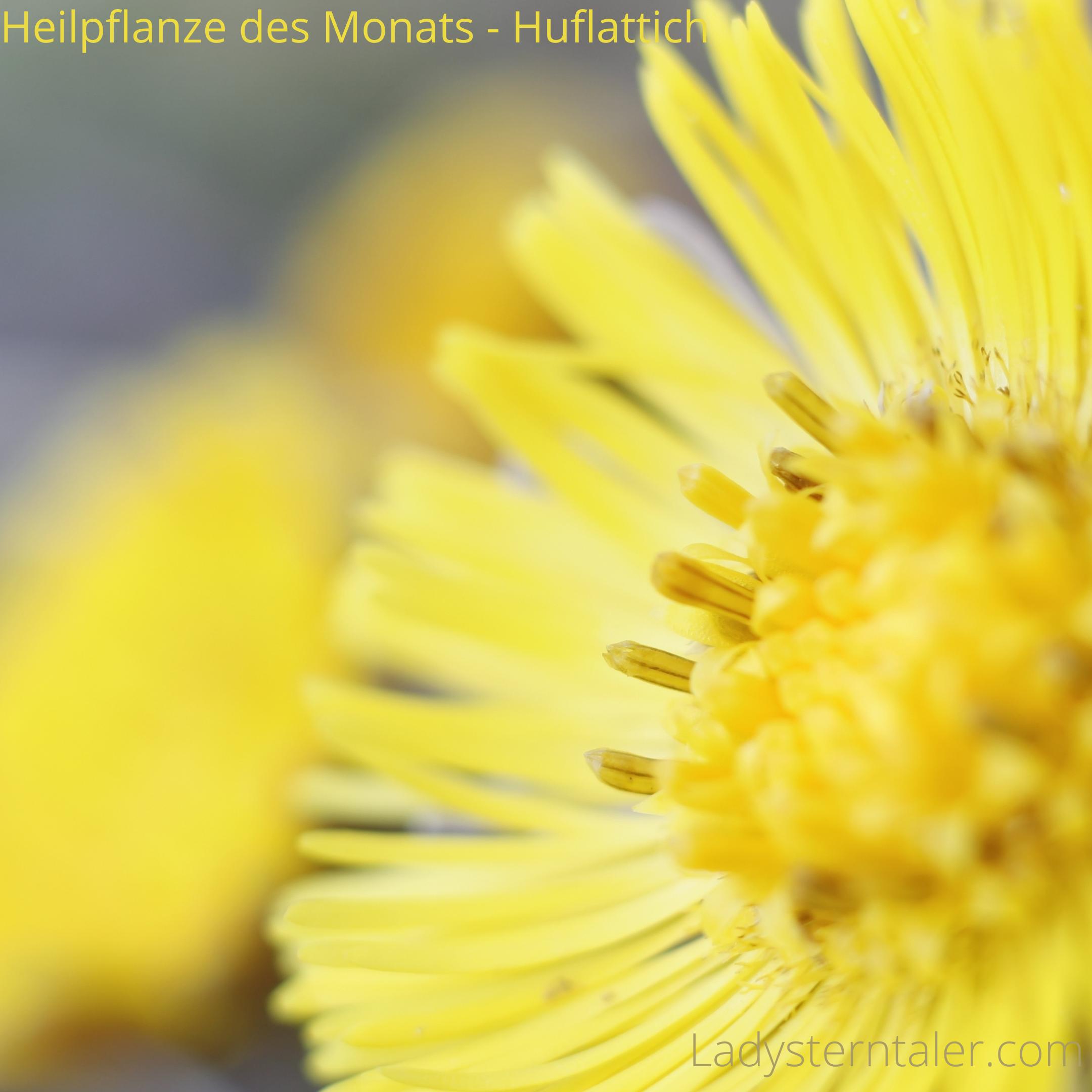 Heilpflanze des Monats - Huflattich